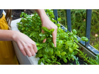 Buy Basil Leaf at Best Price with Microgreens